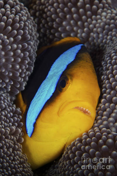 Pomacentridae Photograph - Bluestripe Clownfish Tucked Away by Terry Moore