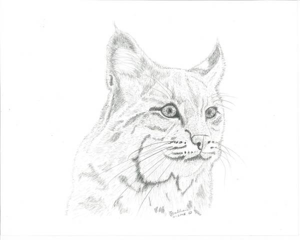 Bobcat Drawings