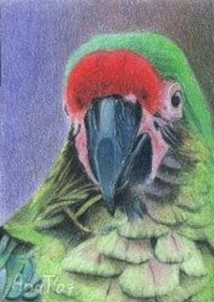 Drawing - Bob Is A Pretty Boy - Aceo by Ana Tirolese