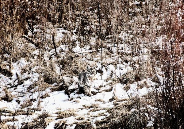 Photograph - Bobcat Winter by Britt Runyon