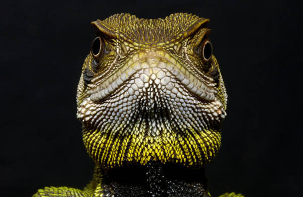 Photograph - Bocourts Dwarf Iguana Enyalioides by Pete Oxford