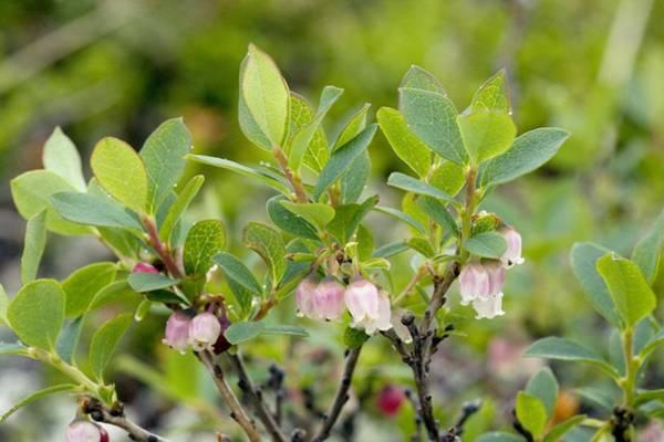 Bilberry Photograph - Bog Bilberry (vaccinium Uliginosum) by Bob Gibbons