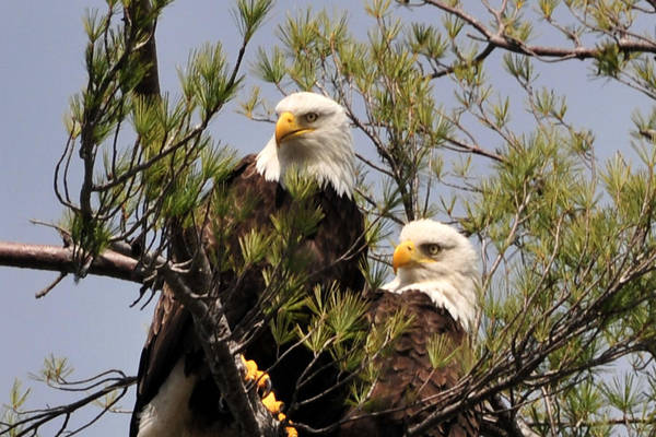 Photograph - Bog River Eagles Close Up  by Peter DeFina
