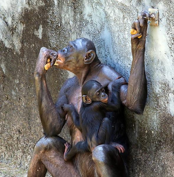 Bonobos Photograph - Bonobo 1 by Kenneth Albin