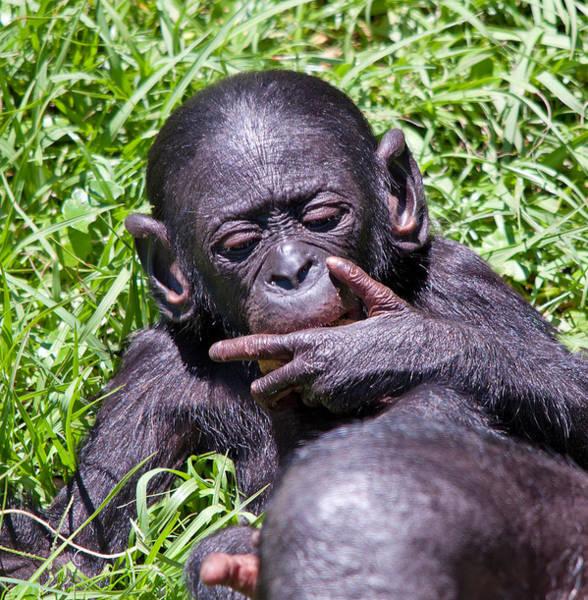 Bonobos Photograph - Bonobo 2 by Kenneth Albin
