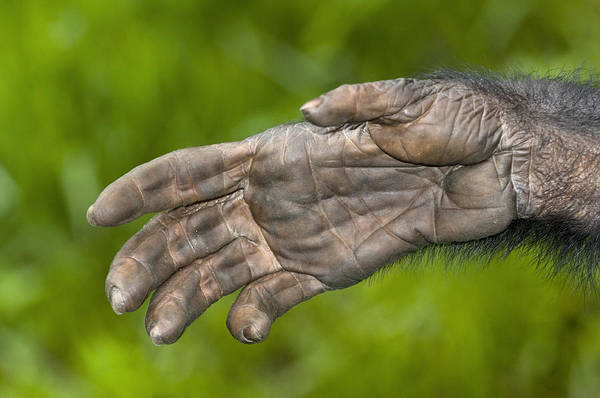 Bonobos Photograph - Bonobo Ape Hand by Tony Camacho