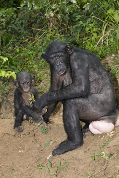 Bonobos Photograph - Bonobo Ape Mother And Young by Tony Camacho