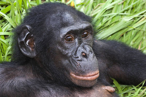 Bonobos Photograph - Bonobo Ape by Tony Camacho