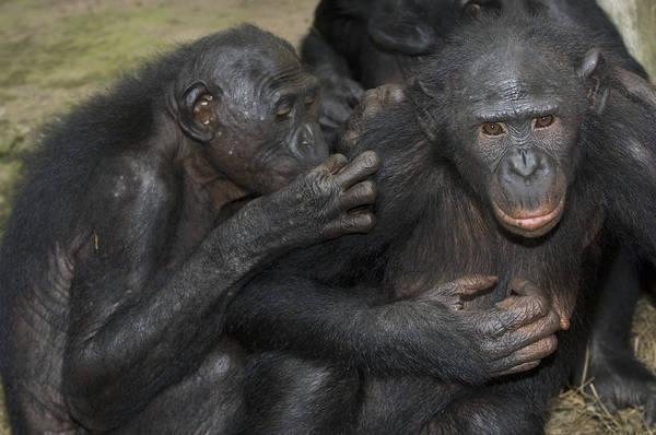 Bonobos Photograph - Bonobo Apes Grooming by Tony Camacho
