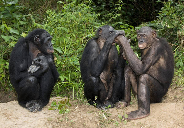 Bonobos Photograph - Bonobo Apes by Tony Camacho