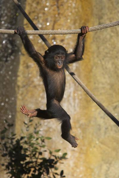 Bonobos Photograph - Bonobo Pan Paniscus Baby Playing by San Diego Zoo