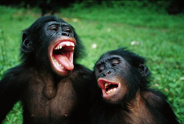 Equatorial Africa Wall Art - Photograph - Bonobo Pan Paniscus Juvenile Pair by Cyril Ruoso