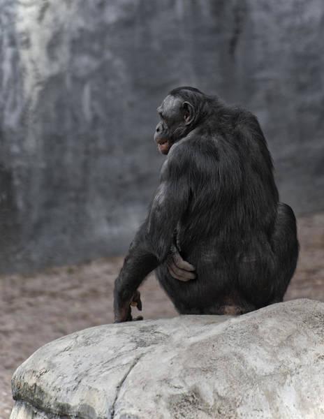 Bonobos Photograph - Bonobo by Wade Aiken