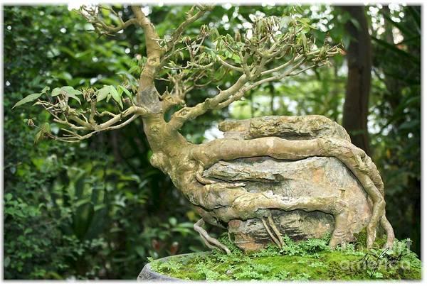 Bonsai Tree Digital Art - Bonsai Root And Stone by Maxine Bochnia