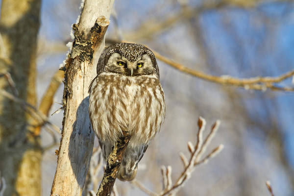 Wall Art - Photograph - Boreal Owl by Tim Grams