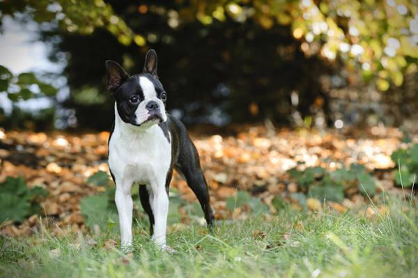 Buldog Photograph - Boston Terrier  by Waldek Dabrowski