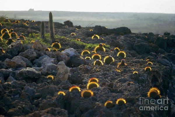 Photograph - Botany: Cacti by Granger