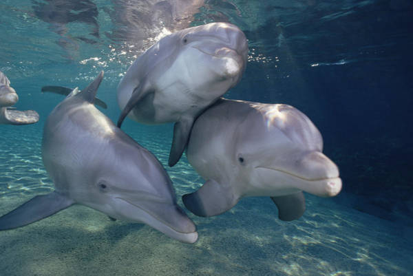 Photograph - Bottlenose Dolphin Trio Hawaii by Flip Nicklin