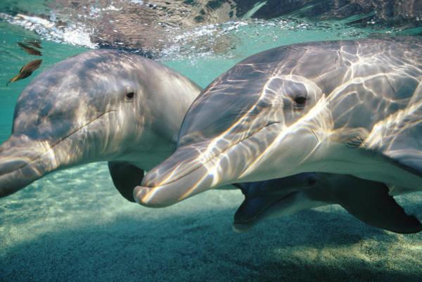 Photograph - Bottlenose Dolphin Underwater Pair by Flip Nicklin