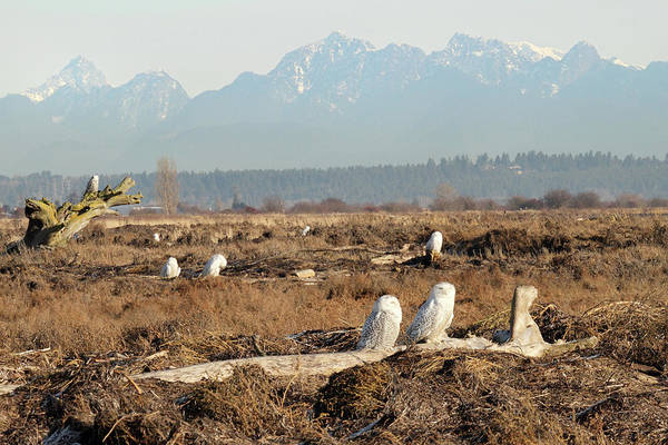 Photograph - Boundary Bay Snowy Owls by Pierre Leclerc Photography