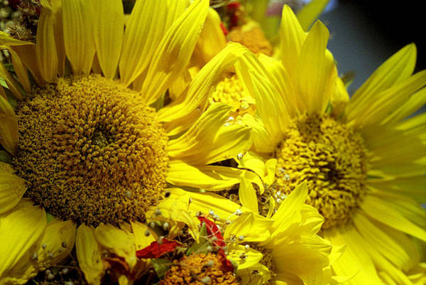 Photograph - Bouquet With Sunflowers by Emanuel Tanjala