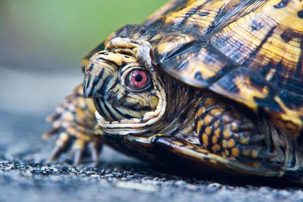 Box Turtle Photograph - Box Turtle 1 by Douglas Barnett