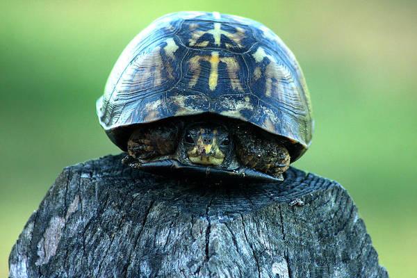 Photograph - Box Turtle by Emanuel Tanjala