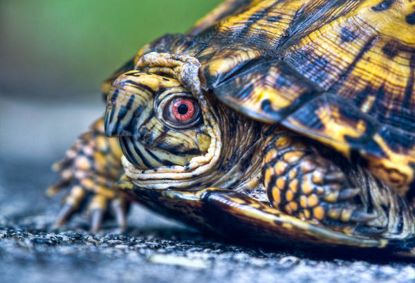 Box Turtle Photograph - Box Turtle Up Close And Personal by Douglas Barnett