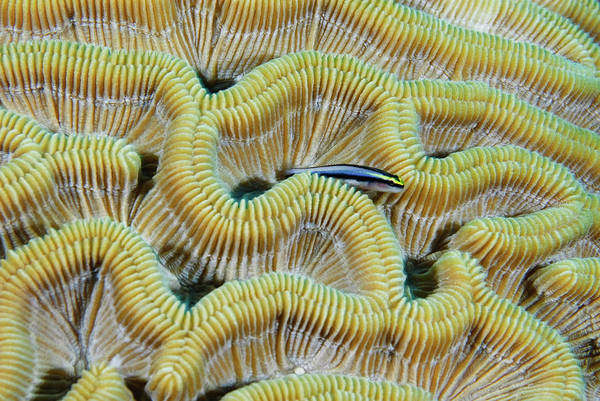 Turks And Caicos Islands Wall Art - Photograph - Brain Coral by Robin Wilson Photography