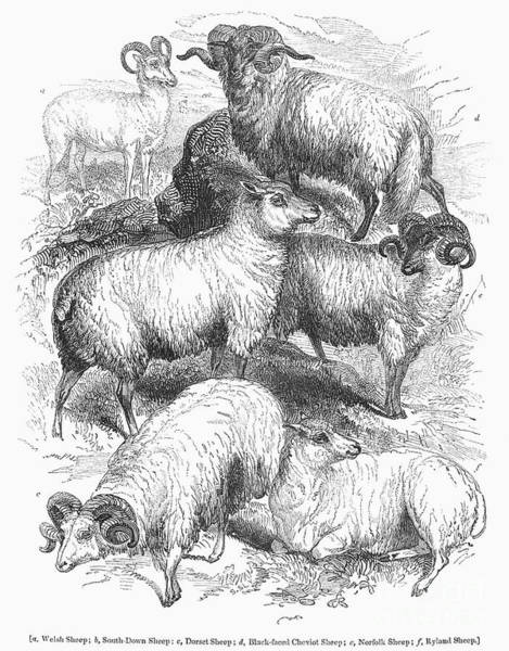 1841 Photograph - Breeds Of Sheep, 1841 by Granger
