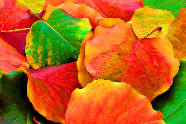 Photograph - Bright Beautiful Fall Leaves by Sheila Kay McIntyre
