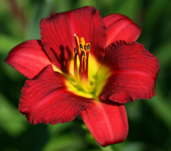 Photograph - Bright Daylilly by Bill Barber