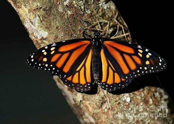 Photograph - Bright Orange Monarch Butterfly by Sabrina L Ryan