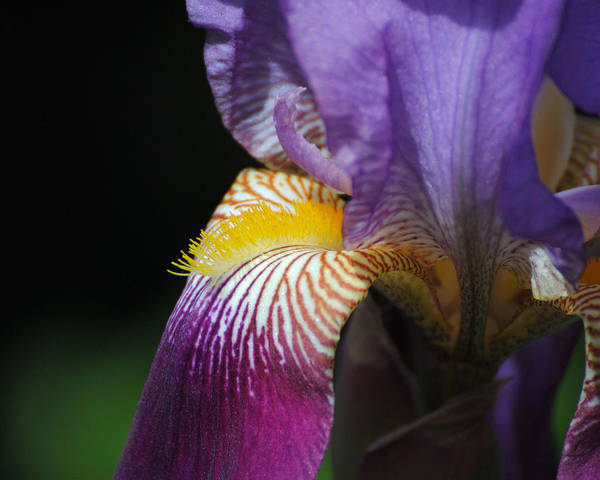 Photograph - Brilliant Purple Iris Flower IIi by Jai Johnson