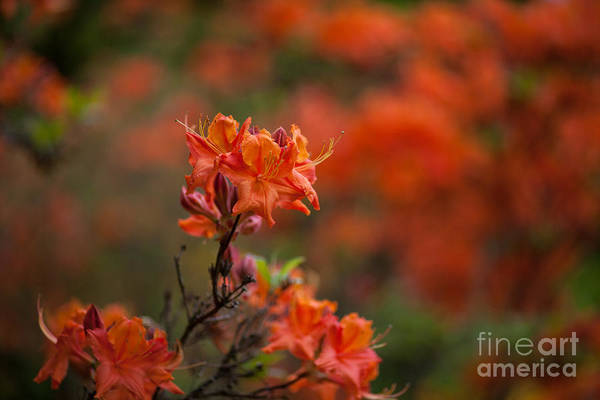 Rhododendrons Photograph - Brilliantly Rouge by Mike Reid