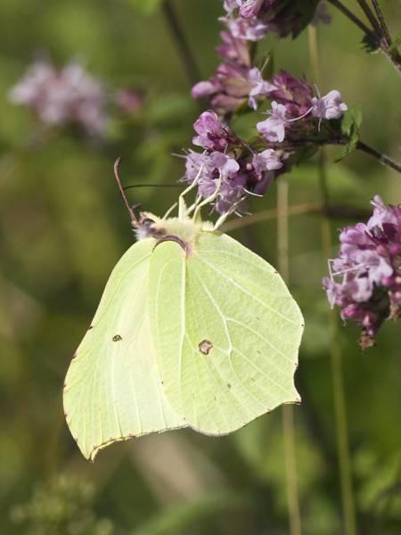 Brimstone Photograph - Brimstone Butterfly by Adrian Bicker