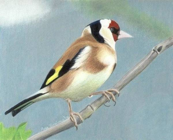 Drawing - British Goldfinch by Ana Tirolese