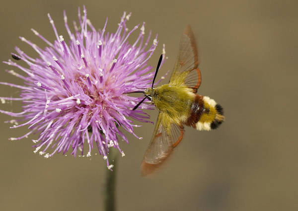 Hemaris Photograph - Broad-boarded Bee Hawkmoth by Bob Gibbons