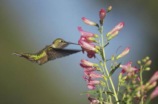 Broad-tailed Hummingbird Photograph - Broad Tailed Hummingbird Juvenile by Tim Fitzharris