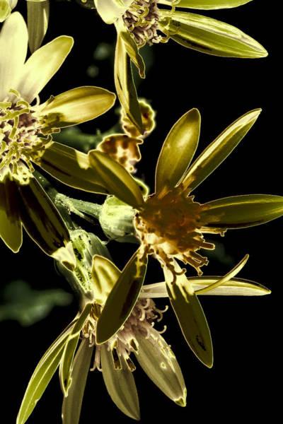 Solarized Photograph - Broadleaf Arnica by David Patterson