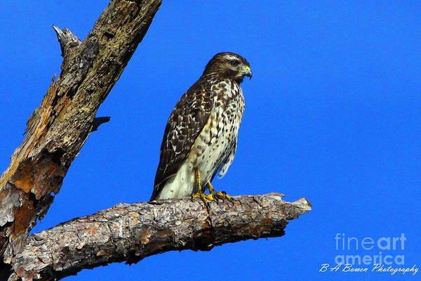 Photograph - Broadwinged Hawk by Barbara Bowen