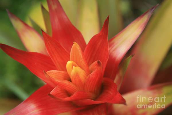 Bromeliad Photograph - Bromeliad by Sharon Mau