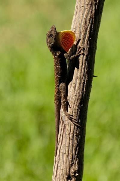 Photograph - Brown Anole Displaying by Trever Miller