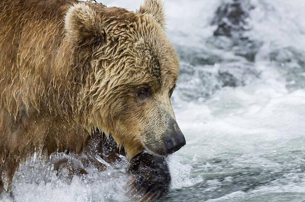 Kamchatka Photograph - Brown Bear Fishing For Salmon by Sergey Gorshkov