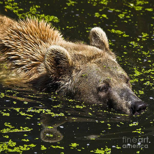Photograph - Brown Bear Swimming by Heiko Koehrer-Wagner