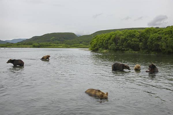 Kamchatka Photograph - Brown Bears Fishing For Salmon In Kuril by Randy Olson