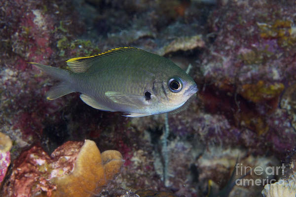 Pomacentridae Photograph - Brown Chromis, Bonaire, Caribbean by Terry Moore