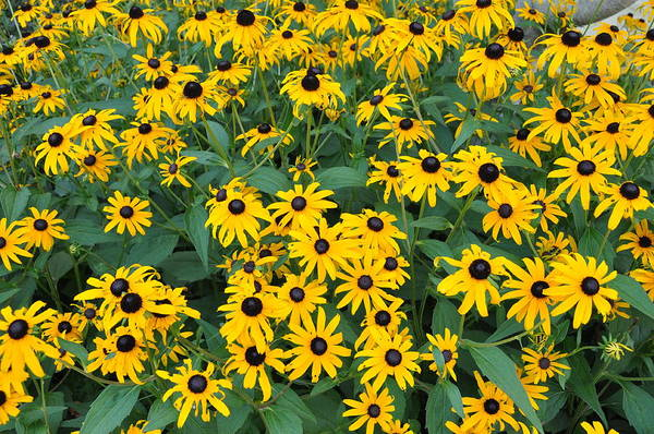 Wall Art - Photograph - Brown Eyed Susans by Jan Amiss Photography