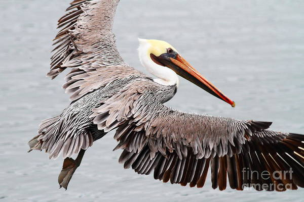Photograph - Brown Pelican . 7d8234 by Wingsdomain Art and Photography