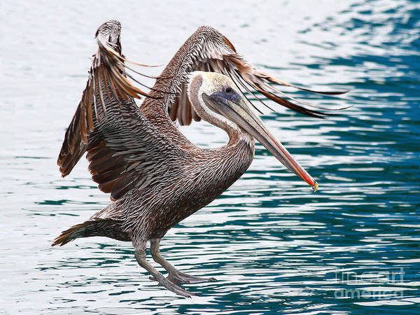 Photograph - Brown Pelican . 7d8253 by Wingsdomain Art and Photography